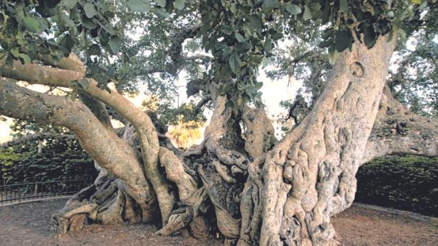 עץ השקמה. גילו מוערך בין 600 ל-1,200 שנה