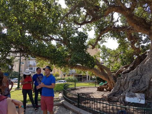 1.עץ השקמה העתיק: בן 800 שנה (צילום: עדי ארצי)