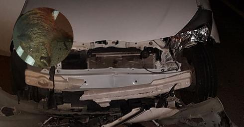 הרכב הפגוע וחזיר הבר | צילום: פרטי